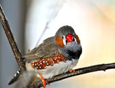 Zebra finch — Stock Photo