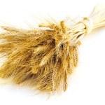 Isolated wheat ears — Stock Photo