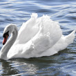 White swan - Foto Stock