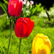 Tulips in spring garden — Foto Stock