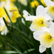 Daffodils — Stock Photo #4564589