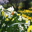 Blooming daffodils in spring park - 图库照片