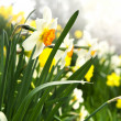 Blooming daffodils in spring park - Stockfoto