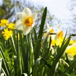 Blooming daffodils in spring park — 图库照片