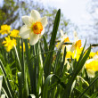 Blooming daffodils in spring park — Foto Stock