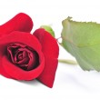 Red rose flower on white background — Stock Photo #4565210