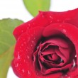 Red rose flower on white background — Stock Photo #4565217