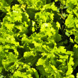 Lettuces growing in a garden — Stock Photo