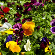 Stock Photo: Pansies for sale