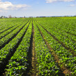 Rows of turnip plants in a field - Stock Photo
