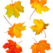 Fall maple leaves - Stock Photo