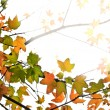 Fall maple leaves background - Stock Photo