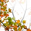 Fall maple leaves background — Stock Photo #4565713