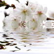Cherry blossom in water — Stock Photo