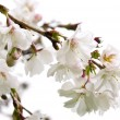 Oriental cherry blossom — Photo