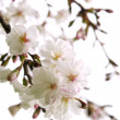 Royalty-Free Stock Photo: Oriental cherry blossom