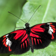 Stock Photo: Red heliconius dorbutterfly