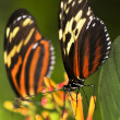 Stock Photo: Large tiger butterflies