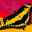 Giant swallowtail butterfly - Stock Photo