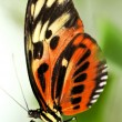 Stock Photo: Large tiger butterfly