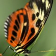 Large tiger butterfly — Foto de Stock