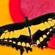 Stock Photo: Giant swallowtail butterfly