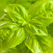 Stock Photo: Green basil close up