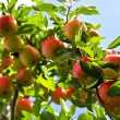 Apples on tree — Stock Photo #4566303