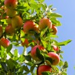 Apples on tree — Stock Photo