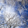 Winter trees and blue sky — Stock Photo #4566491