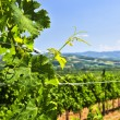 Landscape with vineyard — Stock Photo