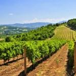 Landscape with vineyard — Stock Photo