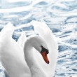 White swan — Stock Photo #4566783