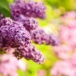 Purple lilac — Stock Photo