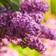 Purple lilac - Stock Photo