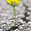 Flower growing from crack in asphalt - Stock Photo