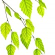 Branch with green leaves — Stock Photo #4569655