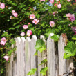 Stock Photo: Garden fence with roses