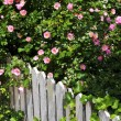 Garden fence with roses - Stock Photo
