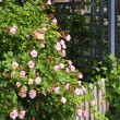 Garden fence with roses — Foto de Stock