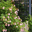 Garden fence with roses — Stock Photo