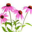 Echinacea purpurea plant — Stock Photo #4569753