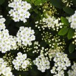 Bridal wreath shrub flowers — Photo