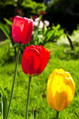 Tulips in spring garden — Stock Photo