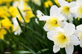 Daffodils — Photo