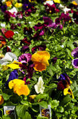 Pansies for sale — Stock Photo