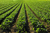 Rows of turnip plants in a field — Stock Photo