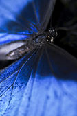 Blue Morpho butterfly closeup — Stock Photo