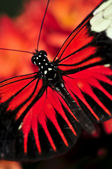 Red heliconius dora butterfly — Stock Photo