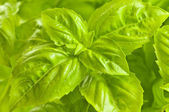 Green basil close up — Stock Photo